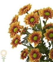 Mums, Spray-Daisy-bronze