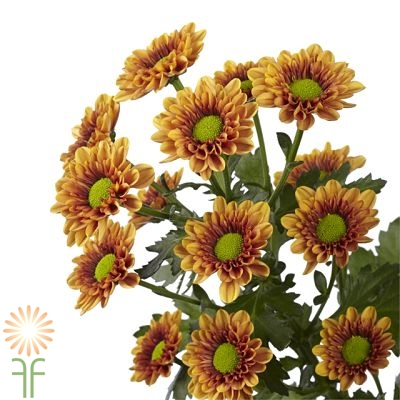 wholesale flowers | spray mums daisy bronze