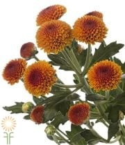 Bronze Button Spray Mums