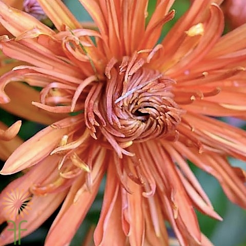 wholesale flowers | mums- spider bronze