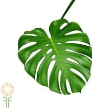 Monstera Leaves, Small