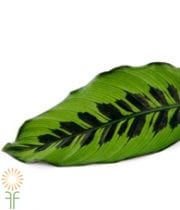 Calathea Leaves, Large