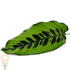 wholesale flowers | calathea leaf