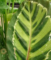 Calathea Leaf, Medallion