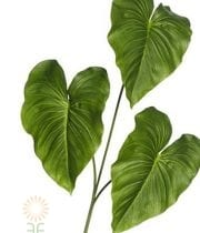 Calla Leaves