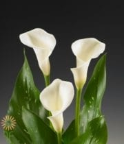 Callas, Mini-White Ideal