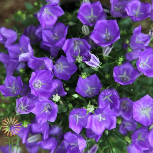 wholesale campanula purple
