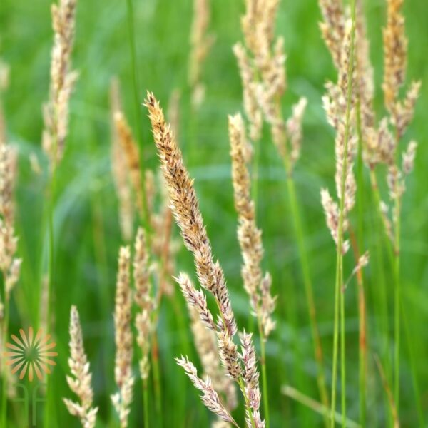 wholesale canary-grass