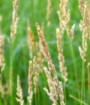Canary Grass