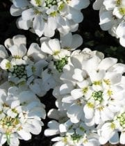 CandyTuft-white