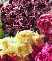 Carnations, Novelty-assorted