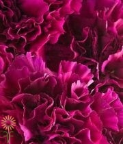 Carnations, Mini-fuchsia
