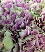 Green And Purple Specialty Merletto Carnations