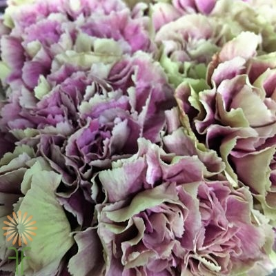 wholesale carnation merletto