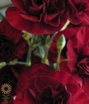 Burgundy Mini Carnations