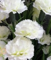 Carnations, Mini-cream