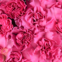 carnation wholesale hot pink