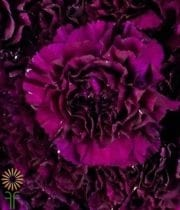 Carnations, Moonvista-plum/black
