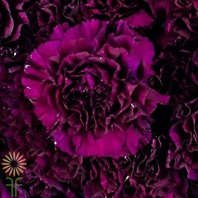 Carnations are a very popular and affordable base flower for wedding buy wholesale wedding flowers carnations moonvista plum black junglespirit Images
