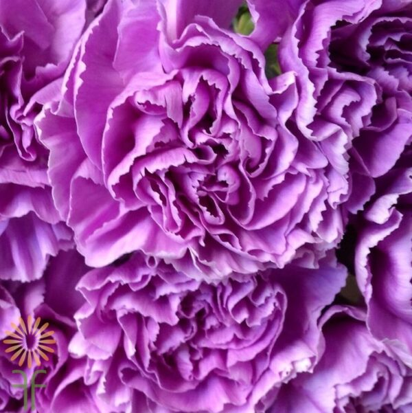 wholesale carnation-moonlite-purple