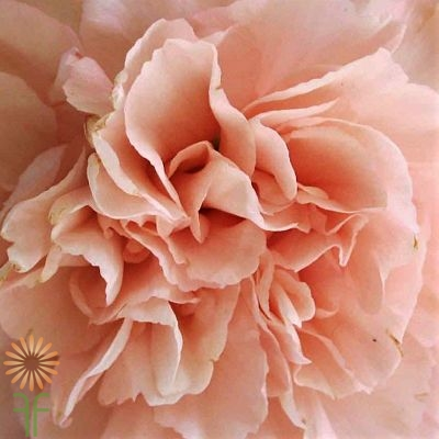 wholesale carnation peach
