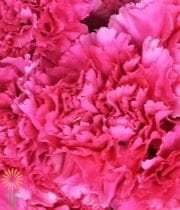 Carnations-hot Pink
