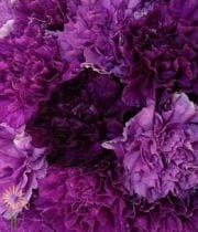 Carnations, Mini Moon-assorted