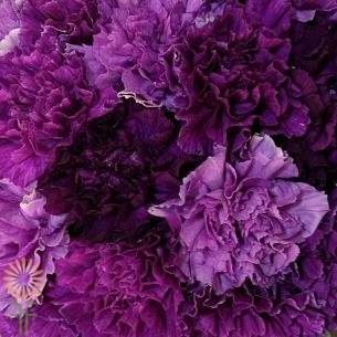 wholesale carnation mini purple moon