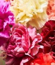 Carnations, Dutch Novelty-assorted 20 Stems