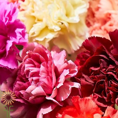 wholesale carnation dutch assorted