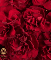 Carnations, Mini-red