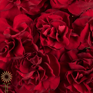 wholesale carnations-mini-red