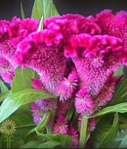 Celosia, Bombay-hot Pink