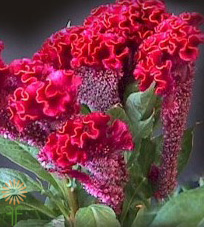 Wholesale Flowers | celosia_bombay_red