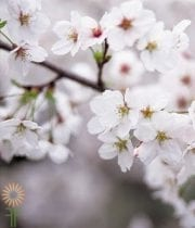 White Flowering Cherry Branch