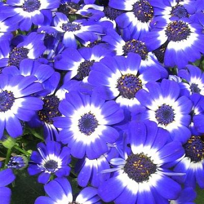 Wholesale Flowers | cineraria blue