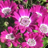 Wholesale Flowers | cineraria pink