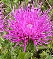 Hot Pink Cirsium Thistle