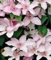 Clematis-light Pink