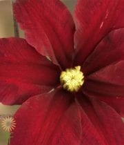 Clematis-red