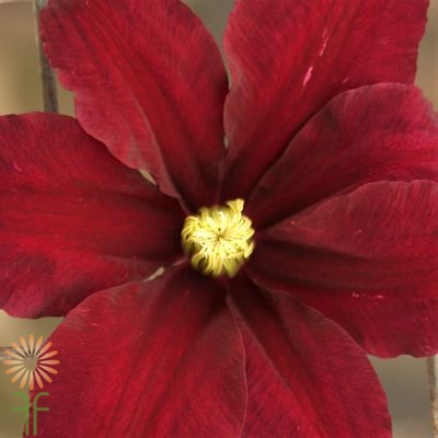 wholesale clematis red