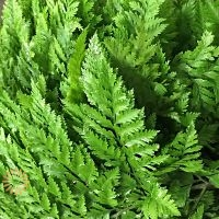 wholesale cleopatra fern