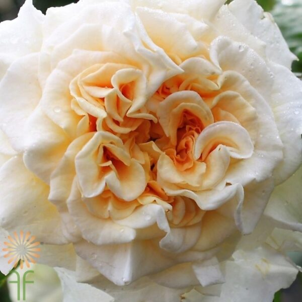 wholesale flowers | garden rose  comtessa