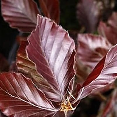 wholesale copper beech brown