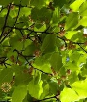 Copper Beech-green