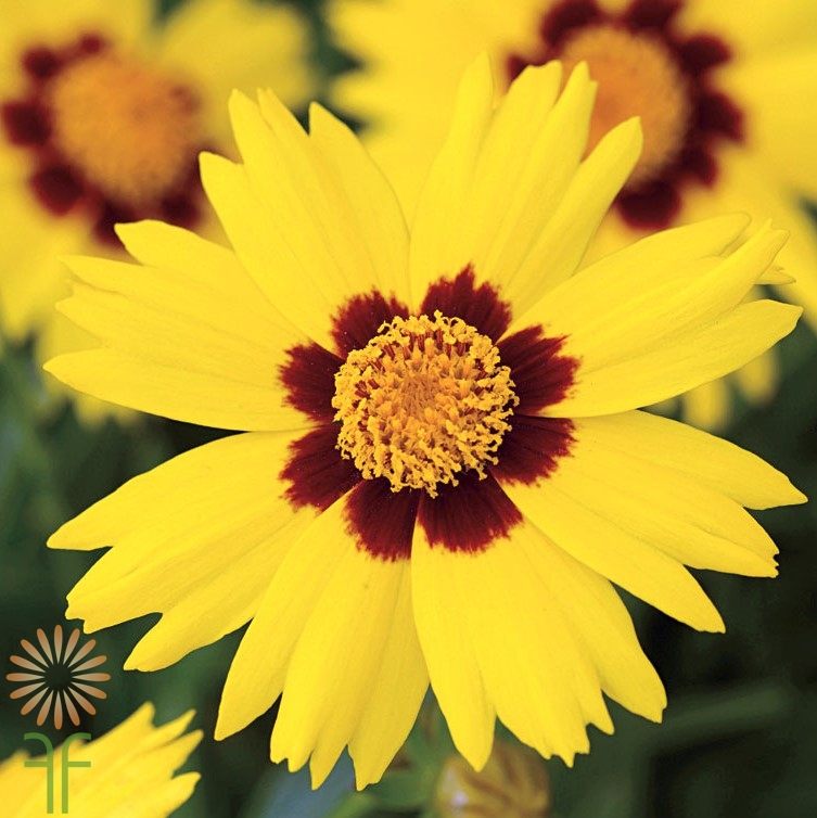 wholesale coreopsis-yellow