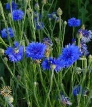 Blue Cornflower Bachelor's Button