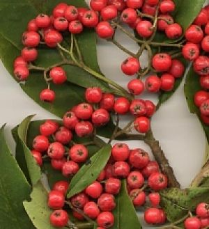 wholesale cotoneaster