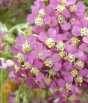 Yarrow, Cottage-pink