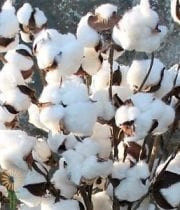Cotton Branches